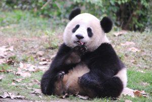 Pandaworld Giant Panda