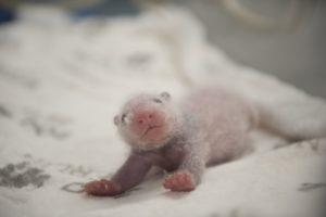 Zoo Berlin – 2 newborn Panda cubs